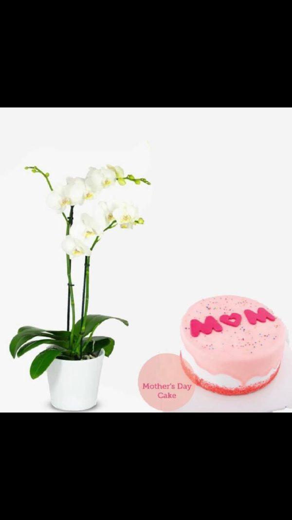 هدية ست الكل  كيكة عيد الأم  نبتة أوركيدا